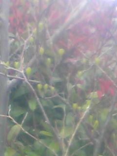 玄関前の木の芽